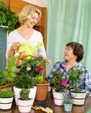 Δύο ηλικίας housewifes που φροντίζουν τις διακοσμητικές εγκαταστάσεις Στοκ Εικόνα