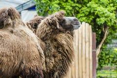 δύο μεγάλες μεγάλες αφρικανικές καμήλες με τα εξογκώματα Στοκ Εικόνες