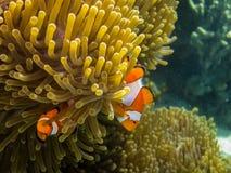δύο μικρά ψάρια anemone Στοκ εικόνες με δικαίωμα ελεύθερης χρήσης