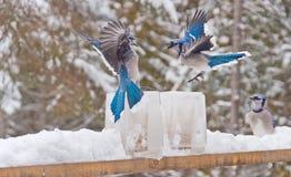 Δύο μπλε jays (αποσαφήνιση) που παλεύουν πέρα από τους τροφοδότες πάγου Στοκ Φωτογραφία