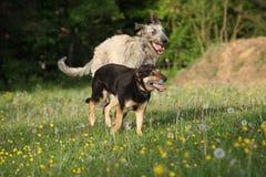 _δύο σκυλί παίζω με μεταξύ τους και τρέχω Στοκ Εικόνα