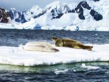 Δύο σφραγίδες Weddell Στοκ Εικόνες