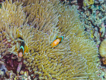 δύο ψάρια anemone στη θάλασσα Στοκ Εικόνες
