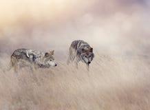Δύο λύκοι στην ψηλή χλόη Στοκ Εικόνες