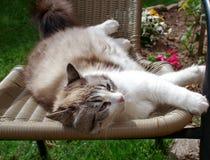 ύπνοι γατών σε μια καρέκλα στοκ φωτογραφία με δικαίωμα ελεύθερης χρήσης