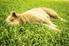 Ύπνοι σκυλιών στην πράσινη χλόη Στοκ Εικόνες
