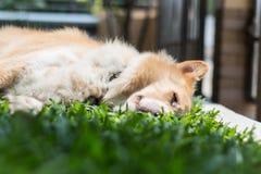 Ύπνοι σκυλιών Στοκ Φωτογραφίες
