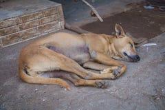 Ύπνοι σκυλιών Στοκ Φωτογραφία