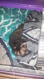 Ύπνος αγάπης κουναβιών Στοκ εικόνες με δικαίωμα ελεύθερης χρήσης