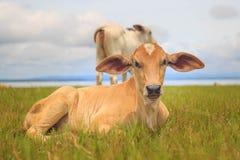 Ύπνος αγελάδων μωρών της Νίκαιας στη χλόη Στοκ Εικόνες