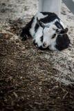 Ύπνος αιγών Στοκ φωτογραφία με δικαίωμα ελεύθερης χρήσης