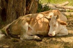Ύπνος βοοειδών κάτω από ένα δέντρο Στοκ φωτογραφία με δικαίωμα ελεύθερης χρήσης