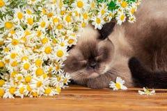 Ύπνος γατών κάτω από camomile τα λουλούδια Στοκ Φωτογραφία