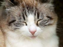 Ύπνος γατών πιπεροριζών κινηματογραφήσεων σε πρώτο πλάνο στοκ εικόνα