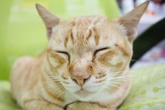 Ύπνος γατών πιπεροριζών Στοκ εικόνες με δικαίωμα ελεύθερης χρήσης