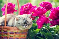 Ύπνος γατών σε ένα καλάθι κοντά στα peony λουλούδια Στοκ φωτογραφίες με δικαίωμα ελεύθερης χρήσης