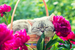 Ύπνος γατών σε ένα καλάθι με τα peony λουλούδια Στοκ Φωτογραφίες