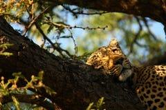 Ύπνος λεοπαρδάλεων στο δέντρο στοκ φωτογραφία με δικαίωμα ελεύθερης χρήσης