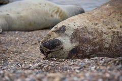 Ύπνος θαλασσόλυκων στην παραλία στη Νότια Αμερική στοκ εικόνες με δικαίωμα ελεύθερης χρήσης