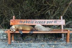 Ύπνος λιονταριών θάλασσας σε έναν πάγκο στο νησί Isabela, Galapagos Στοκ εικόνα με δικαίωμα ελεύθερης χρήσης