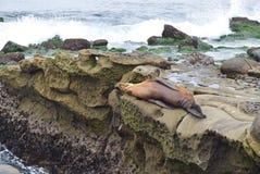 Ύπνος λιονταριών θάλασσας στους βράχους at Low Tide στον όρμο της Λα Χόγια στο Σαν Ντιέγκο, Καλιφόρνια Στοκ Εικόνες