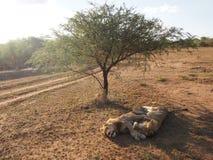 Ύπνος λιονταριών στον ήλιο Στοκ Εικόνες