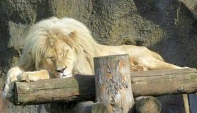 ύπνος λιονταριών Στοκ Φωτογραφίες