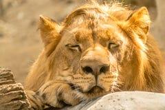 ύπνος λιονταριών Στοκ εικόνα με δικαίωμα ελεύθερης χρήσης