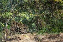 Ύπνος, κατσαρωμένος επάνω ιαγουάρος που στηρίζεται στη ζούγκλα στοκ φωτογραφία με δικαίωμα ελεύθερης χρήσης