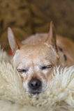 Ύπνος καφετί Chihuahua Στοκ Εικόνες