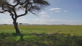 Ύπνος λιονταριών στη σκιά του δέντρου ακακιών που δραπετεύει τη θερμότητα στην άγρια αφρικανική σαβάνα απόθεμα βίντεο