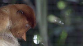Ύπνος πιθήκων Proboscis, που ονειρεύεται και που ξυπνά - κινηματογράφηση σε πρώτο πλάνο απόθεμα βίντεο