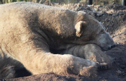 Ύπνος πολικών αρκουδών Στοκ εικόνα με δικαίωμα ελεύθερης χρήσης
