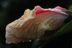 Ύπνος ροζ Στοκ Εικόνες