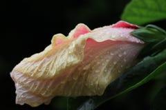 Ύπνος ροζ Στοκ φωτογραφία με δικαίωμα ελεύθερης χρήσης