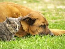 ύπνος σκυλιών γατών Στοκ Φωτογραφία