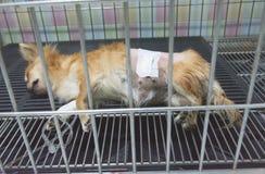 Ύπνος σκυλιών για την αποκατάσταση στο κλουβί Στοκ Εικόνα