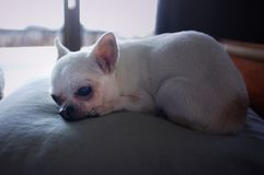 Ύπνος σκυλιών Chihuahua σε ένα μαξιλάρι στοκ φωτογραφία