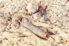 Ύπνος σκυλιών λιβαδιών ομάδας στην άμμο Στοκ Εικόνα