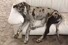 ύπνος σκυλιών καναπέδων Στοκ εικόνα με δικαίωμα ελεύθερης χρήσης