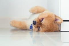 Ύπνος σκυλιών κουταβιών Pomeranian στο σπίτι Στοκ Εικόνες