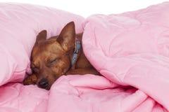 Ύπνος σκυλιών σε ένα κρεβάτι Στοκ φωτογραφία με δικαίωμα ελεύθερης χρήσης