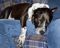 Ύπνος σκυλιών στην ανθρώπινη περιτύλιξη στοκ εικόνα