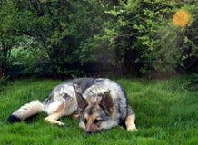 ύπνος σκυλιών Στοκ Εικόνες