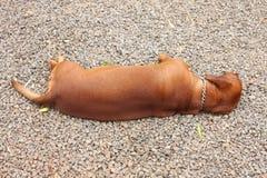 Ύπνος σκυλιών Dachshund στην πέτρα Στοκ Εικόνες