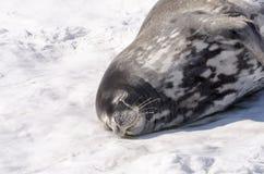 Ύπνος σφραγίδων Weddell (weddellii Leptonychotes) σε παγόβουνο Στοκ Φωτογραφία