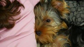 Ύπνος τεριέ του Γιορκσάιρ σκυλιών που πιέζεται ενάντια στο πίσω μέρος της φιλίας κοριτσιών απόθεμα βίντεο