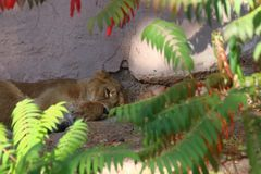 Ύπνος τιγρών στο ζωολογικό κήπο στη Νυρεμβέργη στοκ φωτογραφία με δικαίωμα ελεύθερης χρήσης