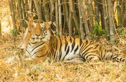 Ύπνος τιγρών στοκ φωτογραφίες