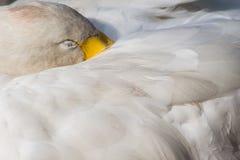 Ύπνος του Κύκνου Στοκ Εικόνες